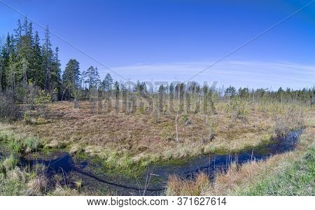 spring swamp with young pines under blue sky
