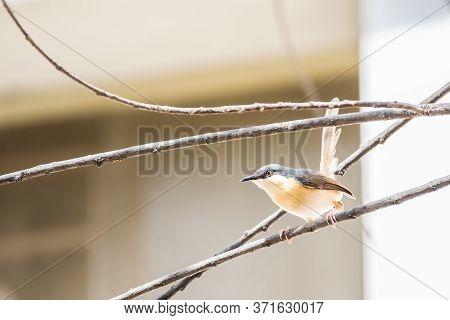 Portrait Of Ashy Prinia (prinia Socialis) Perching On A Twig