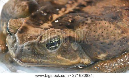 Toad-aha Or Aha (latin. Rhinella Marina) In Terrarium