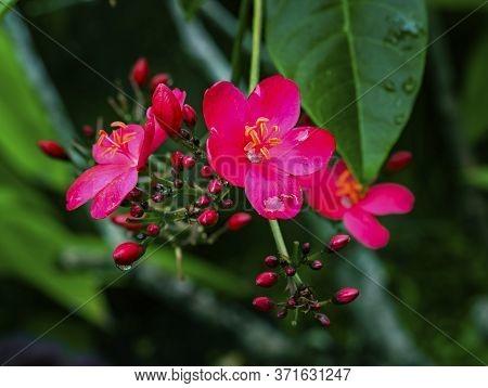 Pink Egyptian Starcluster Pentas Lanceolata Bush Green Leaves Easter Island Chile