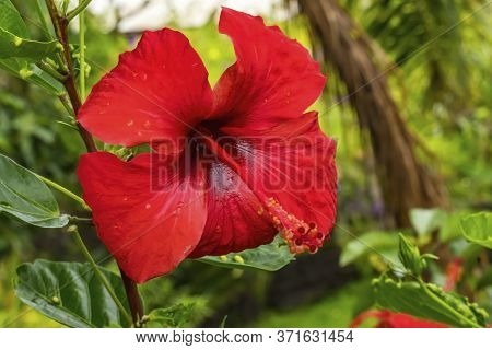 Red Painted Lady Tropical Hibiscus Flowers Green Leaves Easter Island Chile.  Tropical Hibiscus Has