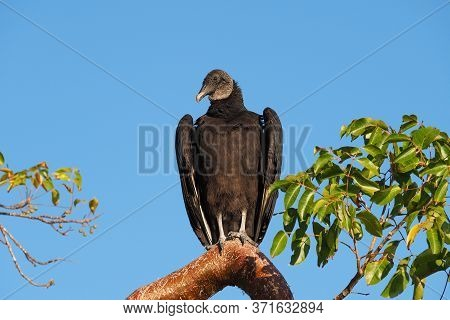 Black Vulture - Coragyps Atratus - Perched On Gumbo Limbo Tree In Everglades National Park, Florida