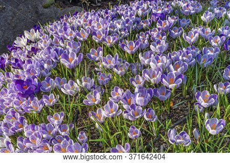 Blue Purple White Crocuses Blossoms Blooming Macro Bellevue Washington State.  First Flower Of Sprin