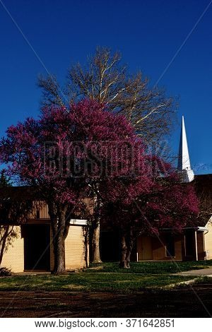 Large Red Bud Tree And Small Town Church And Steeple, Canyon, Texas.