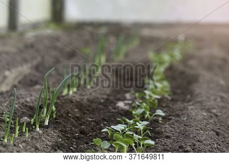Young Sprouts Are Growing From The Soil In The Greenhouse. Young Onion Sprouts And Young Radish Spro