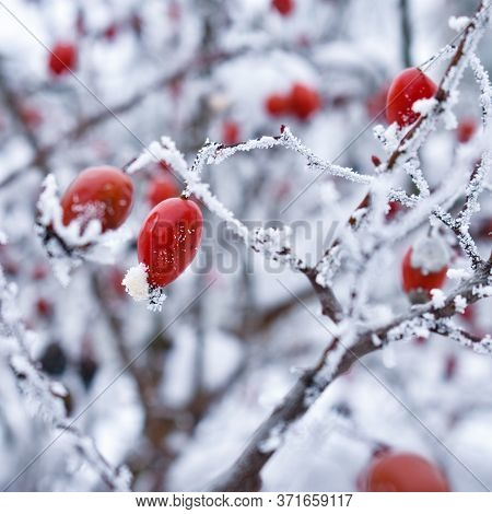 Red Rose-hip In Winter Under Frost. Background With Red Rose Hips Covered With Snow. Winter Backgrou