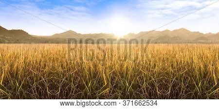 Rice Field And Sky Background. Wheat Field Morning Sunrise Yellow Sunshine