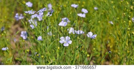 A Close-up On Blooming Linum, Common Flax Or Linseed Plant With Blue Flowers Which Is Cultivated For
