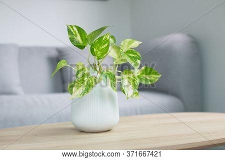 Epipremnum Aureum Plant Or Golden Pothos On Wooden Table In Living Room. Epipremnum Aureum (linden &
