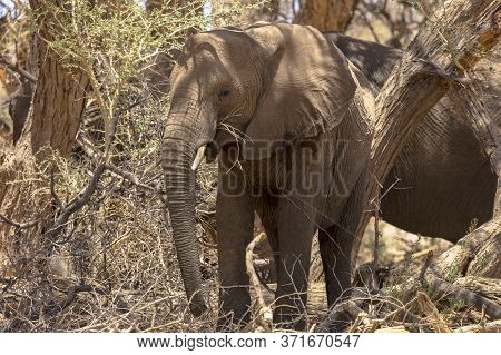 An Adult African Elephant Takes Advantage Of The Shade Of A Tree In The Afternoon Heat In Namibia.
