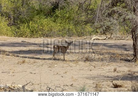 A Steenbok Shelters In The Shade Of A Tree In Namibia