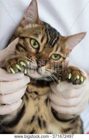 A Veterinarian Holds A Bengal Cat. The Animals Claws Are Covered With Special Caps To Protect Them F