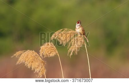 Great Reed Warbler, Acrocephalus Arundinaceus. In The Early Morning, A Bird Sings Sitting On A Reed.