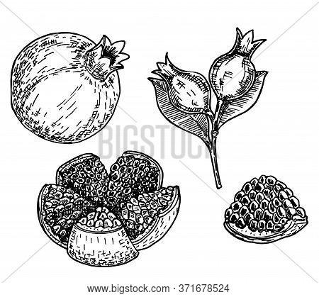 Sketch Illustration Of Pomegranate Punica Granatum Hand Drawn Sketch Style Pomegranates Set. Pomegra