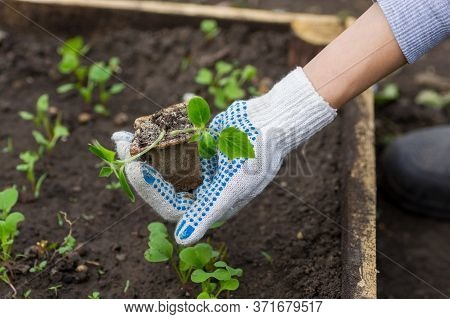 The Gardener Planted Seedlings Of Cucumbers In The Ground. Small Plants Of Cucumbers Grown In Pots F