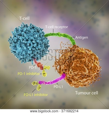 Immune Checkpoint Inhibitors In Cancer Treatment, 3d Illustration. Inhibitors Of Pd-1 Receptor And P