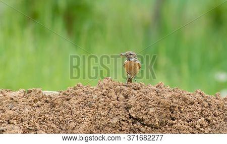 European Stonechat, Saxicola Rubicola. Female Bird With Prey In Its Beak Sits On The Ground.