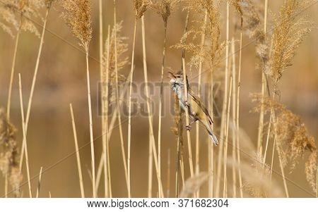 Great Reed Warbler, Acrocephalus Arundinaceus. Bird Sitting On Reed Stalk Near The River And Sings.