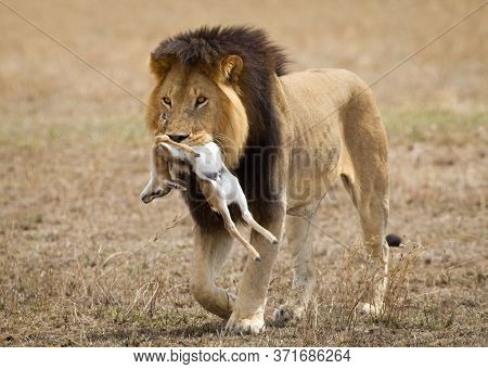 One Adult Male Lion With Big Dark Mane Carrying His Kill In Serengeti National Park Tanzania