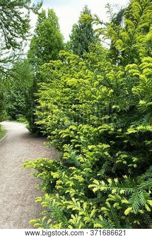 Branches Of Evergreen Conifers In A City Park. Gardening And Landscaping With Decorative Trees And P