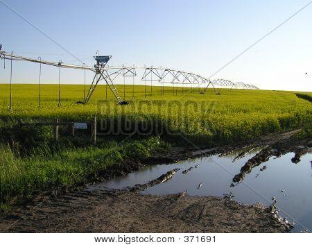 Roadside Irrigated Canola Field