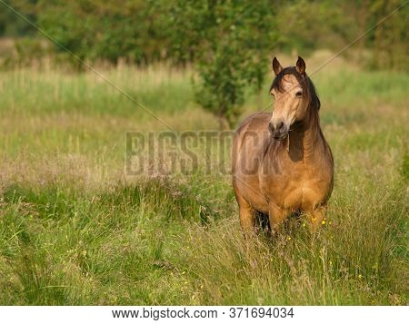A Pretty Native Pony Stands In A Summer Paddock Of Long Grass.
