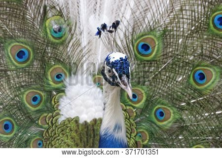 Picturesque Multicolored Peacock Close-up. A Graceful Bird With Bright Colors.