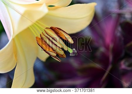 Lily With Bee Pollen And Stamen Close-up.