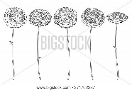 Vector Set With Outline Ranunculus Or Buttercup Flower And Ornate Bud In Black Isolated On White Bac