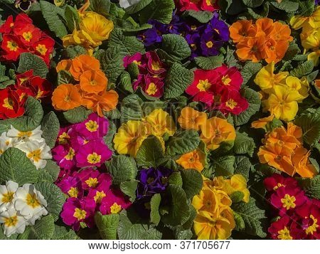 Colorful Flowers/violas In The Garden. Viola Background. Floral Background. Yellow, Red, Violet, Ora