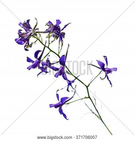 A Branch With Blue Flowers Of The Consolida Regalis Isolated On A White Background, Close-up. Meadow