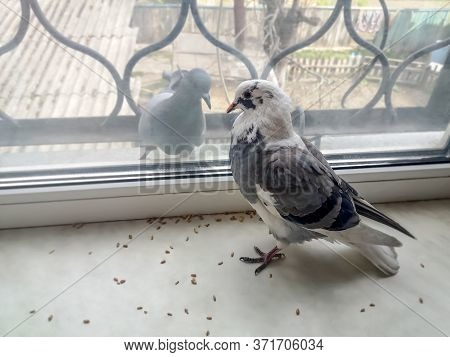 Two Pigeons On Opposite Sides Of A Window Pane. A Beautiful White-gray Spotted Dove Stands Among The