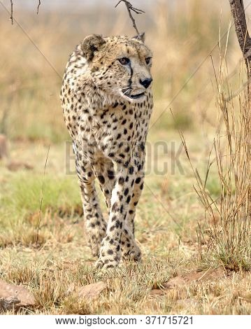 Alert Cheetah On The Hunt In The Pilanesberg National Park