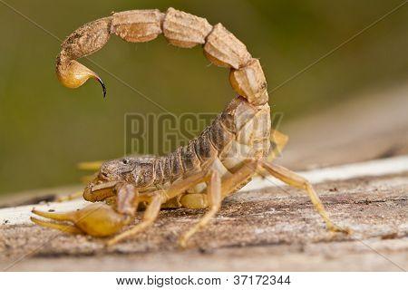 Buthus Scorpion