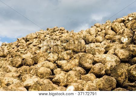 Heap Of Sugar Beets