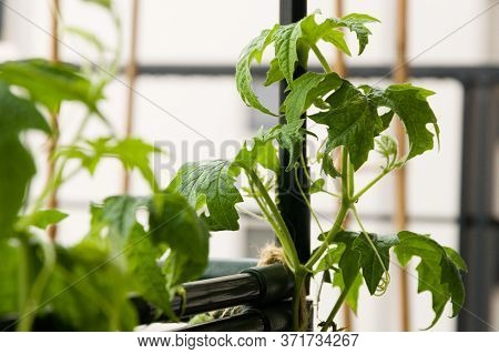 Closeup Of Bitter Gourd Plant Growing On An Urban Balcony Garden