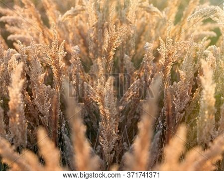 Dry Seeds Of High Grass In Meadow, Dry Seed Of Grass Lit By Sunlight