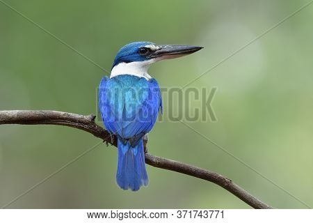 Beautiful Blue And Turquoise Bird Perching On Thin Branch Showing Its Fine Back Feathers, Collared K