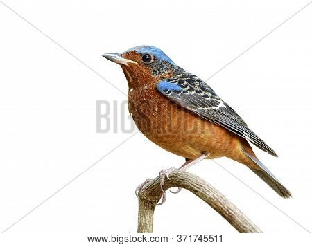Brown And Blue Bird Isolated On White Background, White-throated Rock Thrush (monticola Gularis) On