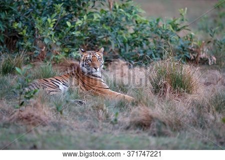 Tiger, young female, resting before a bush in Bandhavgarh National Park in India