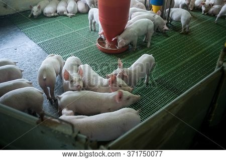 Pig Farm. Industrial Breeding Of Piglets. Small Pigs