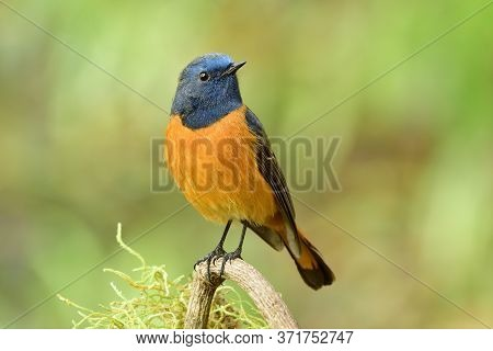 Happy Blue And Orange Bird Perching On Wooden Branch Over Fine Green Background, Male Of Blue-fronte