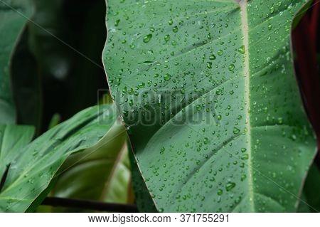 Close Up Wet Arrowhead Plant Or Syngonium Podophyllum Leaves In Rainforest Garden. Texture Details O