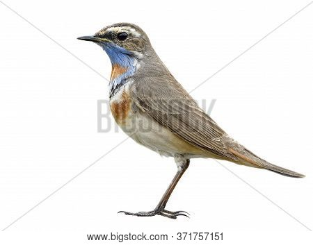 Male Bluethroat (luscinia Svecica) Most Beautiful And Fine Stance Of Brown Bird With Orange And Blue
