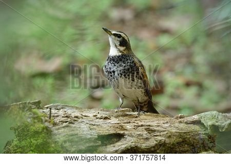 Male Of Dusky Thrush (turdus Eunomus) Banded White And Black Chest Bird Perching On Timber Log While