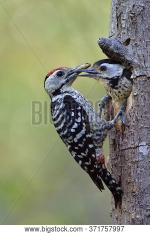 Male Of Fulvous-breasted Woodpecker Keep Feeding Its Baby In Wooden Nest During Breeding Season In T