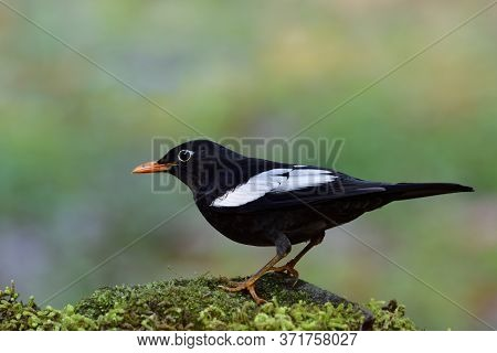 Male Of Grey-winged Blackbird (turdus Boulboul) Dark Thrush With White Feathers On Its Wings And Ora