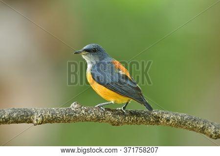 Male Of Orange-bellied Flowerpecker (dicaeum Trigonostigma) Colorful Yellow To Orange And Grey Bird