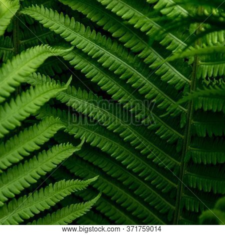 Fern Leaf Background. Beautiful Green Leaf Background. Nature Background