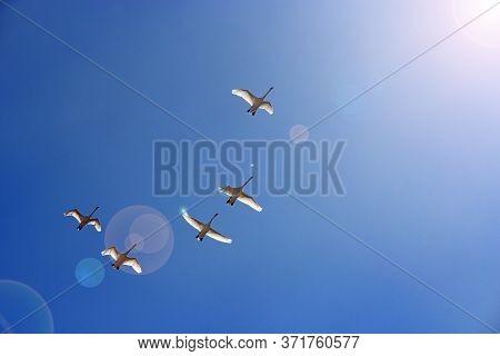 Flock Of Swans Flying Through Blue Sky. Swan Flock Flying In Blue Sky And Sunbeams. Migratory Birds